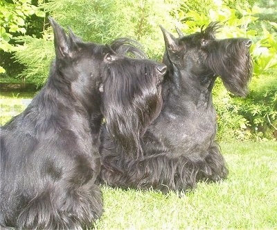 The right side of two short-legged black Scottish Terriers that are standing in a yard, they both are looking up and to the right. They have longer hair on their chins and pointy perk ears.