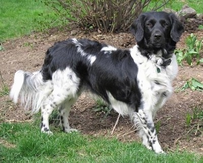 The right side of a black and white Stabyhoun dog is standing in dirt and it is looking forward. It has a long body, a long tail with long fringe hair on it and soft looking drop ears.