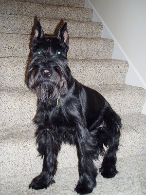 Front view - A shiny black Standard Schnauzer dog sitting on a tan carpeted step looking forward. The dog has croped point ears and longer hair on its snout and fringe hair on its legs and under belly.