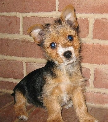Close up - A wiry looking, black and tan with white Torkie puppy is sitting across a brick surface, it is looking forward and its head is slightly tilted to the left. It has small perk ears that fold over to the front, wide round dark eyes, and a black nose.