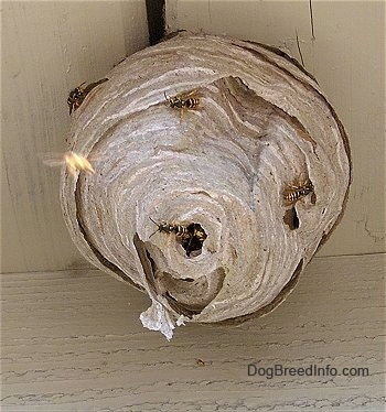 wasp nest removal cost