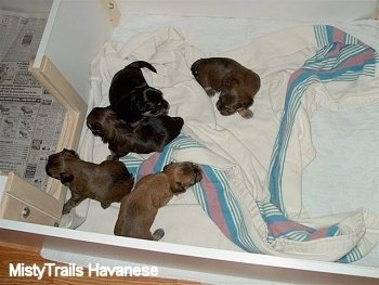 Top down view of five new born puppies that are laying on a towel in a whelping box.