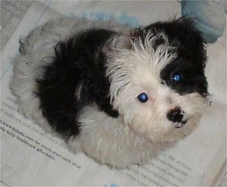 Top down view of a small, soft looking, black and white Zuchon puppy that is looking up. It is sitting on newspaper.