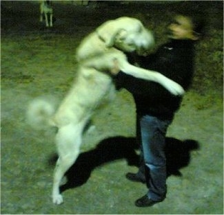 A large breed white Akbash Dog jumping onto a man. The dog is as tall as the man