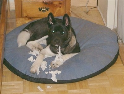 Conrad the Akita is chewing on toilet paper and laying on a dog bed. Conrad is looking at the camera holder with the paper hanging out of his mouth