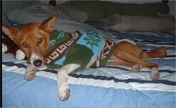 Nelson Mandela the Basenji wearing a sweater laying in a bed