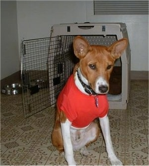Nelson Mandela the Basenji wearing a red t-shirt sitting in front of a dog crate