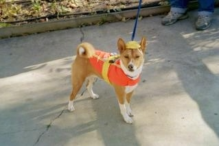 Sammy the Basenji dressed as a construction worker