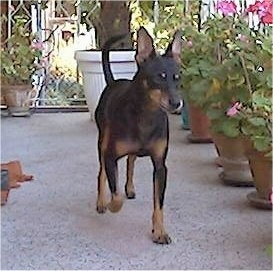 A black and tan German Pinscher is walking across a porch. There is a line of flowers in a pot next to it