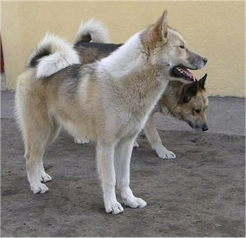 A white and tan with black and a Tan, black and white Greenland Dog are standing next to each other in dirt in front of a yellow building.