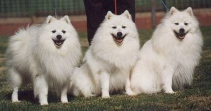 Three happy looking white Japanese Spitz are standing and sitting in a row in grass. All of there mouths are open.