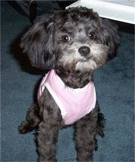 A black with white Lhasa-Poo is wearing a pink shirt looking forward.