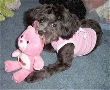 A black with white Lhasa-Poo is wearing a pink shirt laying on a blue carpet. There is a pink Care Bear in front of it.