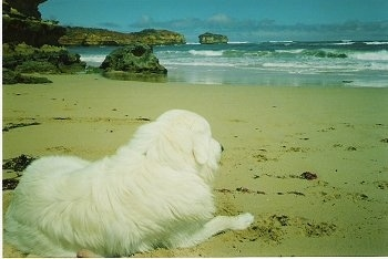 The back of a white Maremma Sheepdog is laying in sand and looking out at the ocean. There are large boulder-sized rocks on the shoreline.