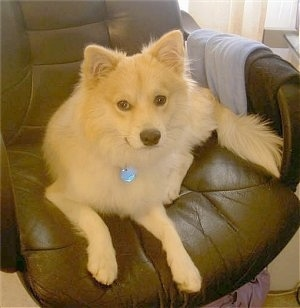 Front view - A tan Pomimo dog is laying in a brown leather computer chair and it is looking forward.