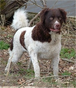 Front view of a Brown and white curly coated dog with shorter hair on its face and longer curly hair on its ears, wavy hair on its body and thick fluffy hair on its ring tail that is up over its back. It has a brown nose brown eyes and brown lips.