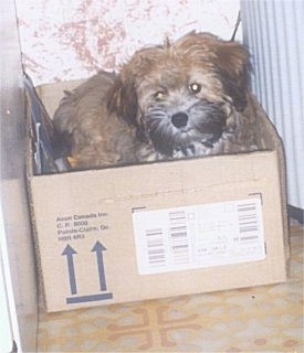A brown with black, thick coated, soft looking Zuchon dog standing in a cardboard box and it is looking forward. Its ears are hanging down to the sides and its eyes are glowing yellow. Its muzzle is black, its body is tan and its ears are brown with black tips.