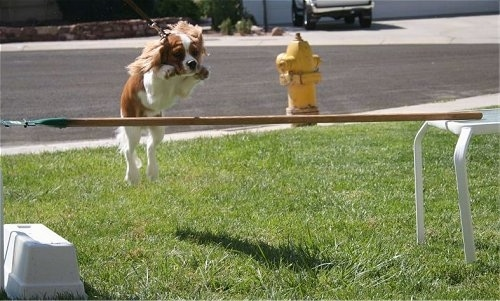 Rusty the blenheim Cavalier KC Spaniel is jumping over a stick on a table
