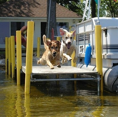 Simba, the Golden Retriever (left) and Zeus the Yellow Lab are jumping off of a dock into a body of water. There is a boat next to the dock