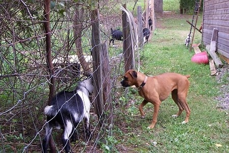 The Goats are standing behind a wire fence with Allie the Boxer on the other side who staring at them and wanting to pounce