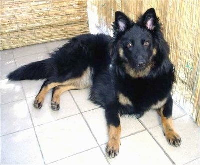 Nicka the Bohemian Shepherd sitting on a tiled floor against a bamboo wall
