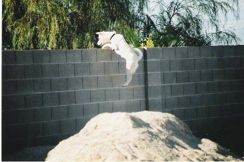 Wedah the white Jindo is jumping over a tall cinderblock wall