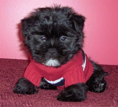 Dixon Himes the Care-Tzu puppy is wearing a sweater and it is sitting on a red carpet and against a pink wall