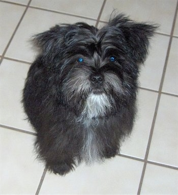 Dixon Himes the Care-Tzu Puppy is sitting on a tiled floor and looking up
