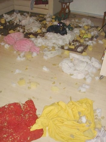 Pia Ecko the Dobermann/German Shepherd mix is laying on a rug with cotton and foam from pillow stuffings scattered all over the room. The remains of the red and yellow pillow covers are on the floor