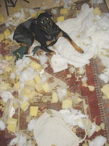 Pia Ecko the Dobermann/German Shepherd mix is laying on a rug riddled with cotton and foam. Pia Ecko is looking at the camera holder