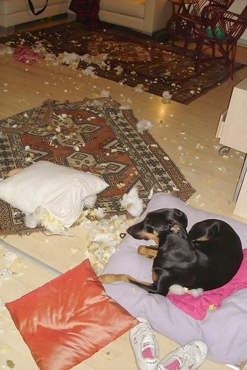 Pia Ecko the Dobermann/German Shepherd mix is laying on a pillow next to a pair of shoes in front of a rug riddled with foam and stuffing all over the floor
