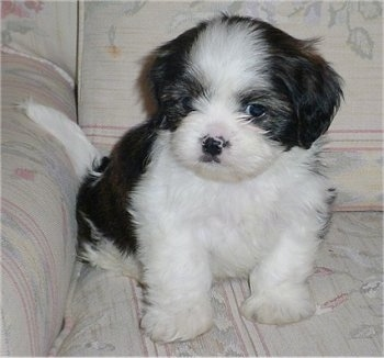 A Cava-Tzu puppy is sitting on a white couch