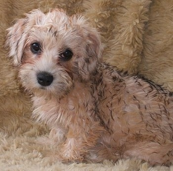Madge the tan and cream with black tipped Dandie Dinmont puppy is sitting on a fuzzy backdrop