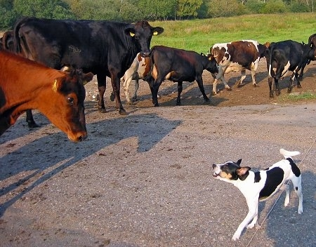 Sigurd the the Danish-Swedish Farmdog is barking at a herd of cattle moving in a line across a road.