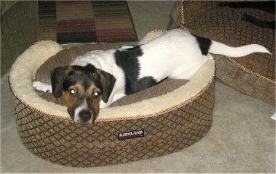 Mason the black, brown and white tricolor Doxle is laying down in a brown and tan dog bed