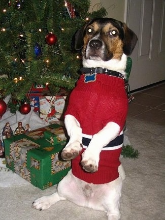 Mason the black, brown and white tricolor Doxle is sitting on his hind legs and he is wearing a Christmas sweater. There is a Christmas tree next to it and there are wrapped boxes under the tree