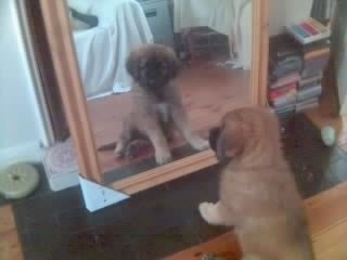 Scooby the Estrela Mountain Dog as a puppy is sitting in front of a mirror and looking at himself