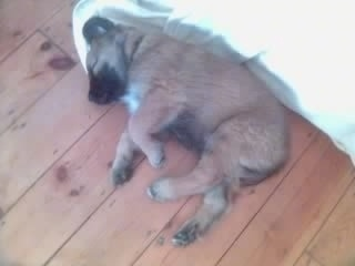 Scooby the Estrela Mountain Dog as a puppy is sleeping on a blanket against a wall