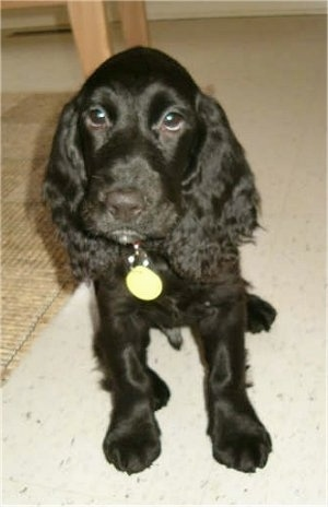 A black Field Spaniel puppy is sitting next to a table on a white tiled floor.