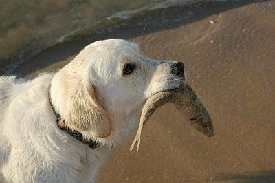 A Golden Labrador is standing in sand and it has a fish in its mouth. There is a body of water behind it.