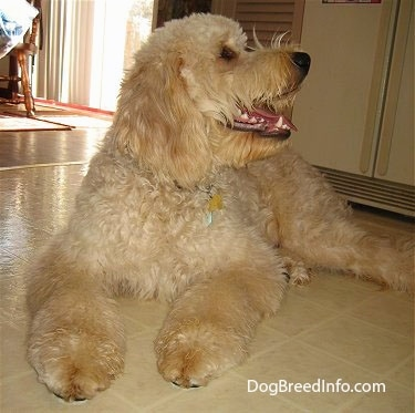 A tan Goldendoodle is laying on a tiled floor in front of a refrigerator looking up and to the right