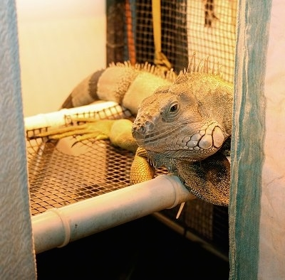 An iguana is laying across a cage looking to the left under a heat lamp.