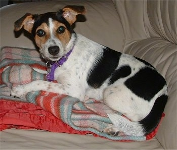 A white with black and tan Jack-A-Bee is laying on a blanket on top of a tan leather couch