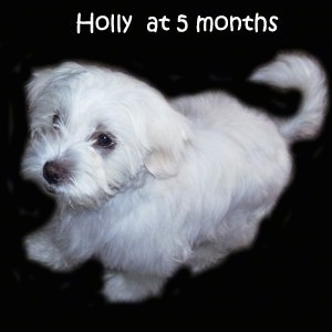 A white La-Chon puppy is composited on to a black background. It is looking to the left. The words - Holly at 5 months - are overlayed