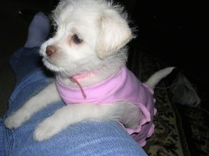 Close up - A small, white Lhasa-Poo puppy is standing with its front paws over the top of a persons leg and looking forward. It is wearing a pink shirt.