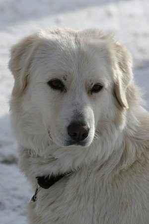 Close up head shot - A white Maremma Sheepdog is sitting in snow.