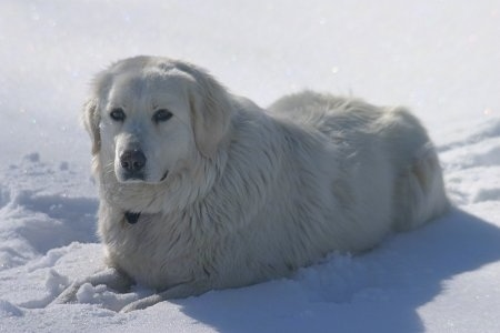 A white Maremma Sheepdog is laying in snow and looking forward.