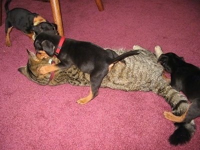 Three black and tan Meagle puppies are playing with a tiger cat on top of a red carpet. One is face to face with the cat, another is laying over top of the cat and there is one in the back pawing at the cats leg.