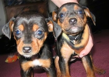 View from the front - Two black and tan Meagle puppies are looking forward. There is a hand wrapped around the Meagle on the right.