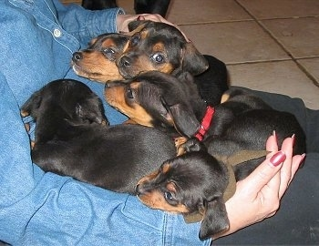 A litter of black and tan Meagle puppies are laying on the body of a lady in a blue denim shirt who is sitting on a tan tiled floor.